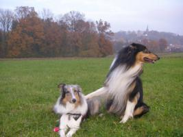 Foto 6 Wir bekommen American Collie Welpen!!!! (Collies of American Stars and Stripes)