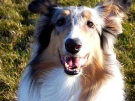 Foto 8 Wir bekommen American Collie Welpen!!!! (Collies of American Stars and Stripes)