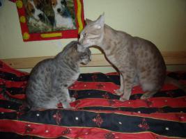 Wir erwarten wieder Ocicat-Kitten !!!