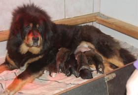 Foto 2 Wir haben Do-Khyi (Tibet Doggen) Welpen