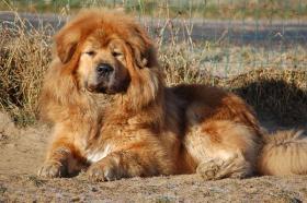 Foto 3 Wir haben Do-Khyi (Tibet Doggen) Welpen