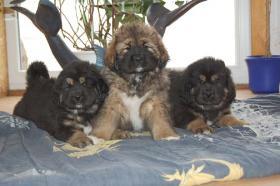 Foto 4 Wir haben Do-Khyi (Tibet Doggen) Welpen