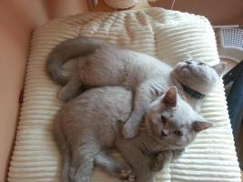Wir haben freie Kätzchen - Britisch Kurzhaar