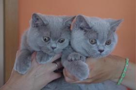 Foto 2 Wir haben freie Kätzchen - Britisch Kurzhaar