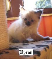 Wir haben noch 2 Ragdoll Kitten!