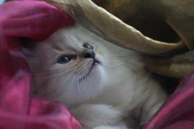 Foto 2 Wir haben wieder wunderschöne Kitten