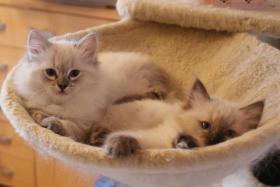 Foto 4 Wir haben wieder wunderschöne Kitten