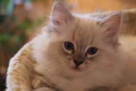 Foto 5 Wir haben wieder wunderschöne Kitten