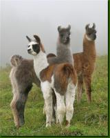 Wolly-Lamas