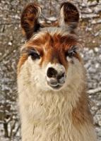 Foto 2 Wolly-Lamas