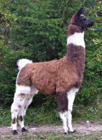 Foto 5 Wolly-Lamas