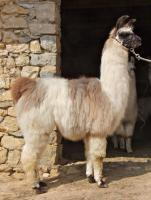 Foto 6 Wolly-Lamas