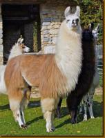 Foto 8 Wolly-Lamas