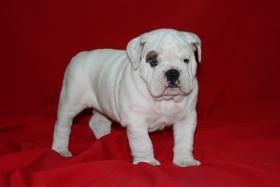 Foto 2 Wunderbare Bulldog Welpen zu verkaufen
