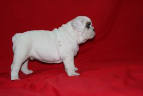 Foto 4 Wunderbare Bulldog Welpen zu verkaufen