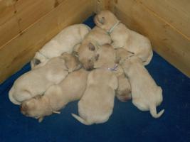 Foto 5 Wunderbare Golden LabradorRetrieverwelpen zu verkaufen