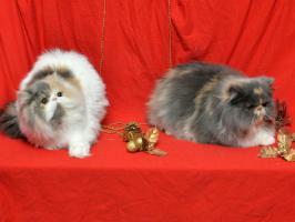 Wunderbare persische Kätzchen zum Verkauf
