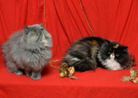 Foto 2 Wunderbare persische Kätzchen zum Verkauf
