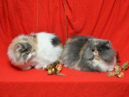 Foto 3 Wunderbare persische Kätzchen zum Verkauf