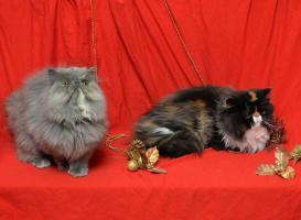 Foto 4 Wunderbare persische Kätzchen zum Verkauf