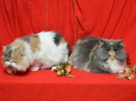 Foto 5 Wunderbare persische Kätzchen zum Verkauf