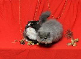 Foto 6 Wunderbare persische Kätzchen zum Verkauf