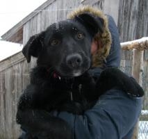 Wunderhübscher, schwarzer Labrador-Appenzeller-Mix-Welpe sucht gutes Zuhause