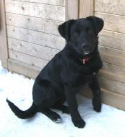 Foto 4 Wunderhübscher, schwarzer Labrador-Appenzeller-Mix-Welpe sucht gutes Zuhause