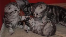 Foto 3 Wunderschöne BKH-Babys vom Kragener Eck zu verkaufen