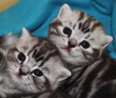 Wunderschöne BKH - Katzen Babys Black Silver Tabby Classic