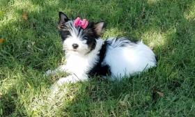 Foto 3 Wunderschöne Biewer Yorkshire Terrier Welpen
