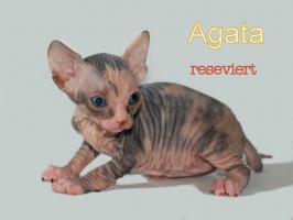 Foto 4 Wunderschöne Canadian Sphynx Kitten