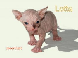 Foto 7 Wunderschöne Canadian Sphynx Kitten