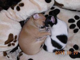 Foto 2 Wunderschöne Chihuahua Welpen!