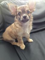 Wunderschöne Chihuahuawelpen suchen ein liebevolles zuhause