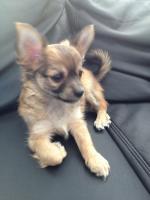 Foto 2 Wunderschöne Chihuahuawelpen suchen ein liebevolles zuhause