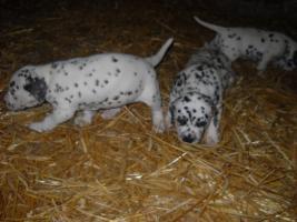 Foto 2 Wunderschöne Dalmatinerwelpen