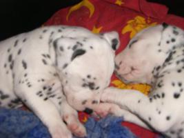 Foto 5 Wunderschöne Dalmatinerwelpen aus Berlin!!!