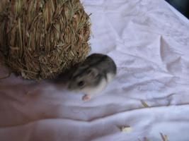 Foto 2 Wunderschöne Hamster abzugeben, Babys wie auch erwachsene Hamster und zubehör!!