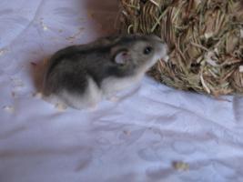 Foto 3 Wunderschöne Hamster abzugeben, Babys wie auch erwachsene Hamster und zubehör!!