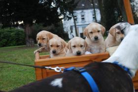 Wunderschöne Labrador Retriever Welpen suchen liebevolle Famillie