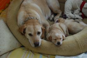 Foto 2 Wunderschöne Labrador Retriever Welpen suchen liebevolle Famillie