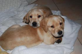 Foto 5 Wunderschöne Labrador Retriever Welpen suchen liebevolle Famillie
