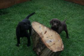 Wunderschöne Labradorwelpen abzugeben!!