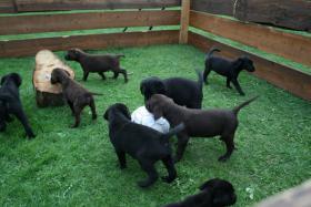 Foto 2 Wunderschöne Labradorwelpen abzugeben!!