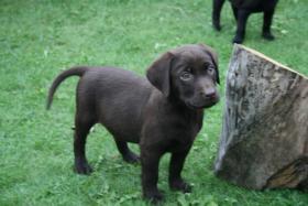 Foto 3 Wunderschöne Labradorwelpen abzugeben!!