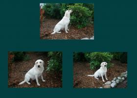 Foto 5 Wunderschöne Labradorwelpen abzugeben!!