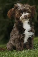 Wunderschöne MINI Bolonka Zwetna Hündin ( 7 Monate )