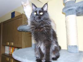Foto 2 Wunderschöne Maine Coon Kätzin 8 Monate alt abzugeben!!
