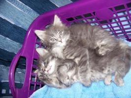 Wunderschöne Maine Coon Kitten o.P.